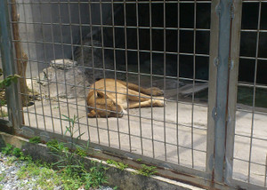 20140524_lion